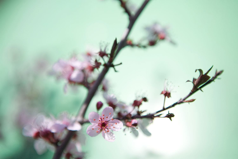 Die japanische Kirschblüte