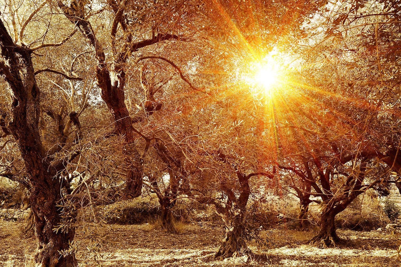 Motiv Olivenbäume im Herbstlicht