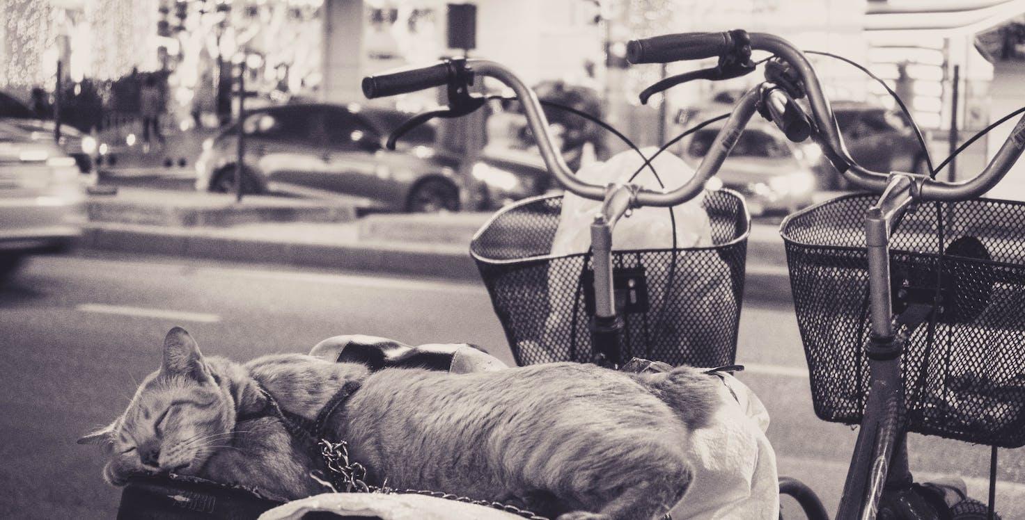 transport de chat taxi pour chat