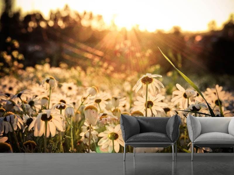 Fototapete Gänseblümchen bei Sonnenuntergang