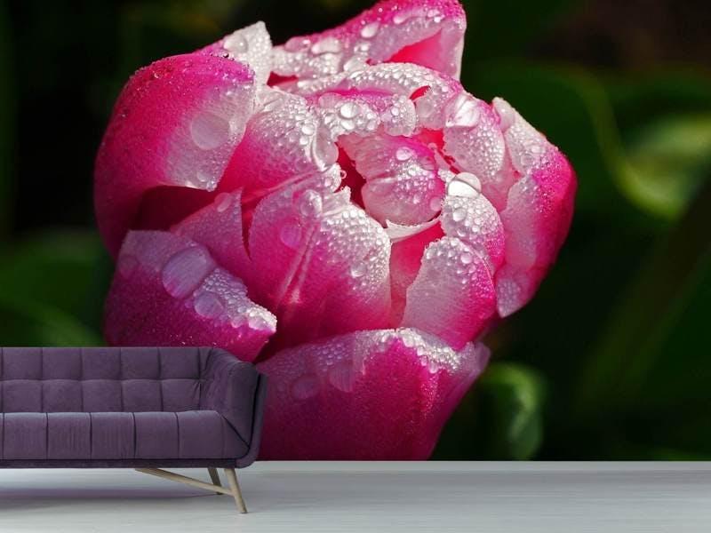 Fototapete Tulpe mit Morgentau in XL
