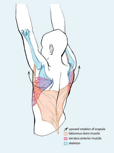 illustration of the muscles engaged in this exercise