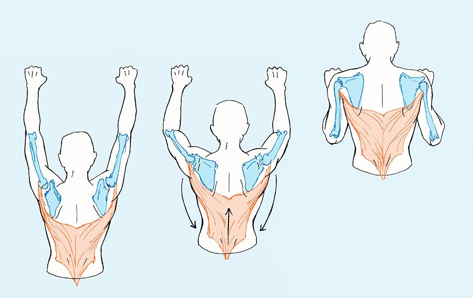 Medical illustration of a series of three figures demonstrating a pull up motion with skeleton and muscles highlighted.