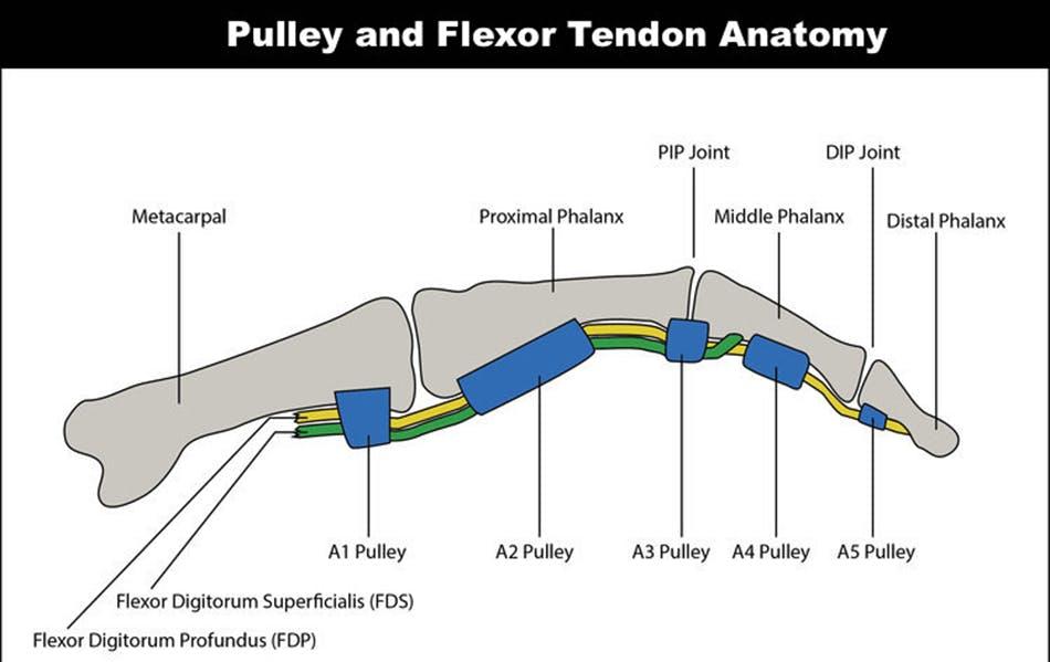 Pulley and Flexor Tendon Anatomy