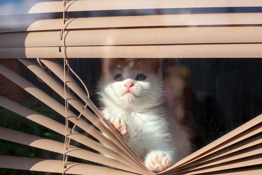 cat bending mini blinds to look outside