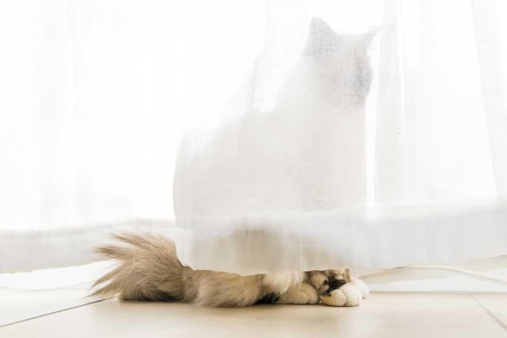 Cat behind sheer curtains