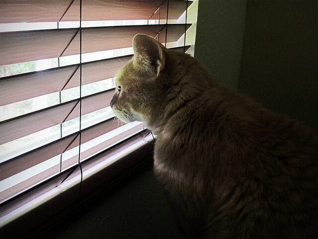 cat looking out of wood blinds