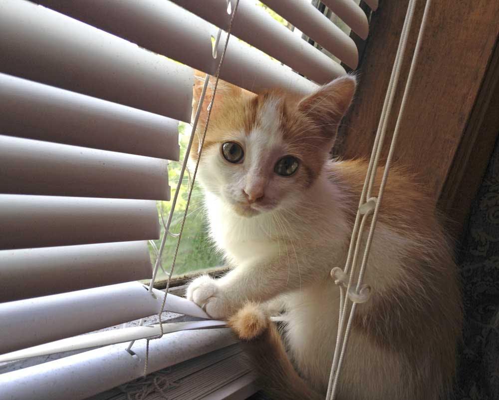 cat looking out window through broken blinds