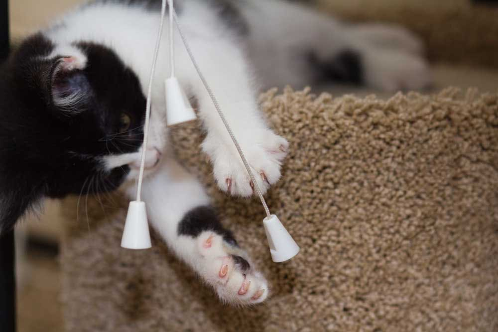 kitten playing with blinds cords