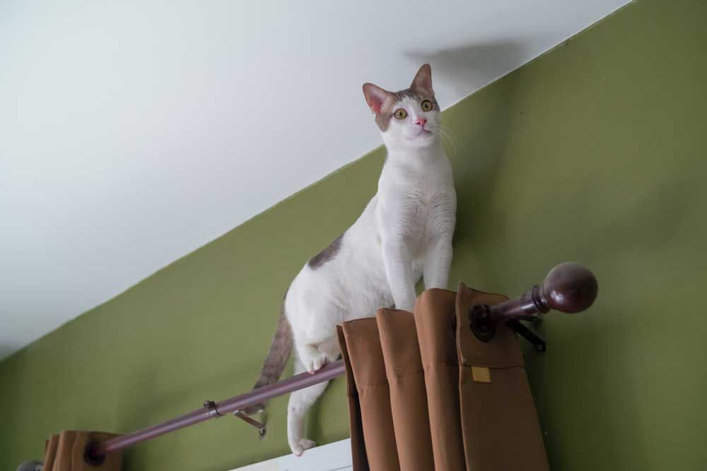 cat on top of curtain rod