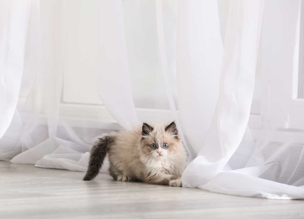 kitten playing with curtains on floor