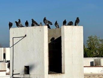 Parvada de palomas en Torreón.