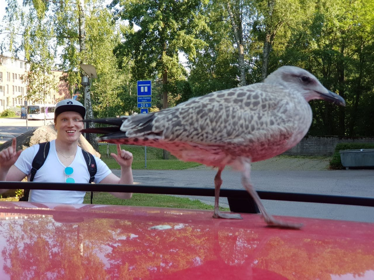 Seagull chick attacking Mikko's car while we were leaving work and me goofing in the background.