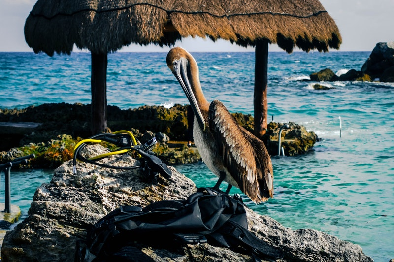 Pelican in Cancún, Mexico