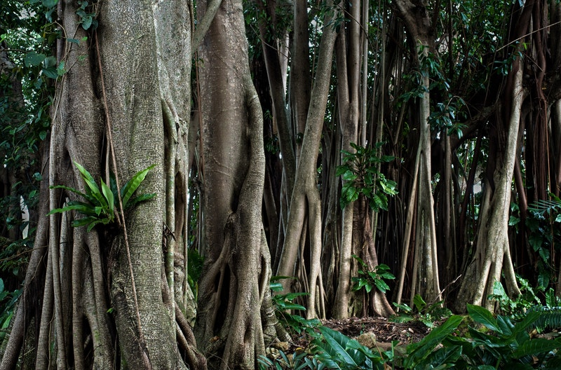Rubber trees, Cairns, Australia