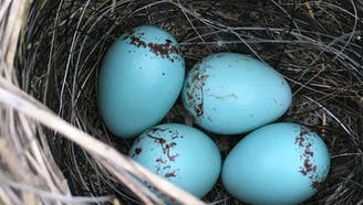 four blue eggs in a birds nest