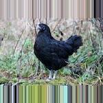 Bohuslän-Dals svarthöna av Freyja Imsland