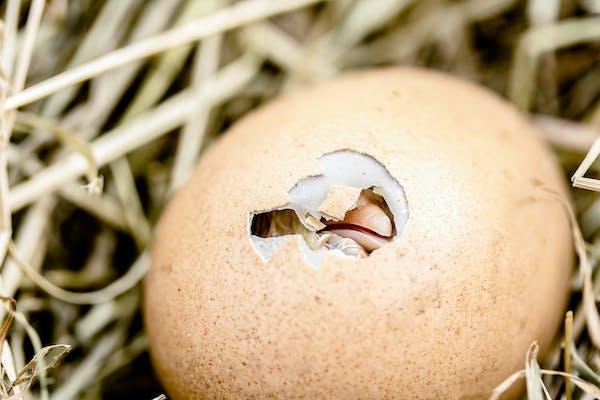 Äggkläckning
