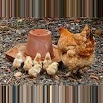 Kycklingar måste också dricka vatten