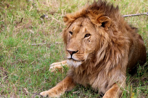 Lion relaxing in the grass in Africa