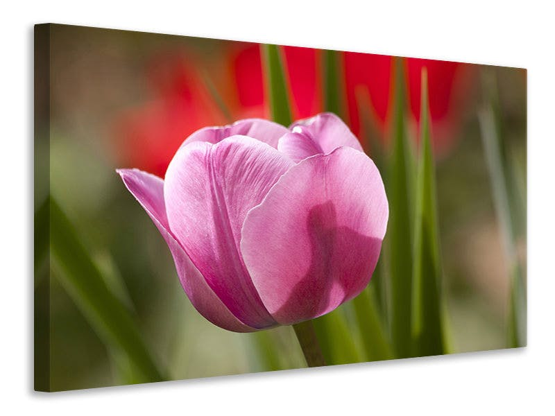 Leinwandbild Tulpe pretty in pink