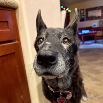 A black and gray dog wearing a collar.
