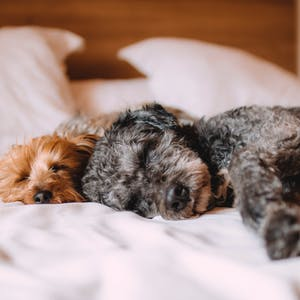 dogs on a bed