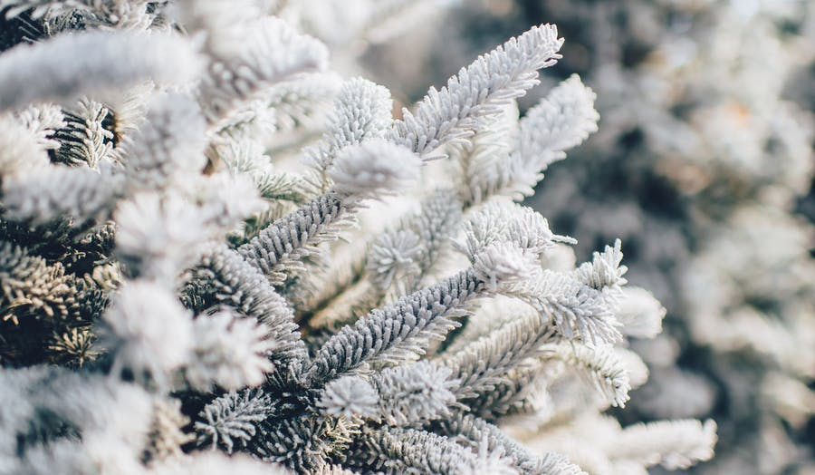 frosted evergreen trees