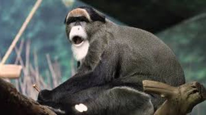 De Bazza's monkey that is one of the expensive pet in the world