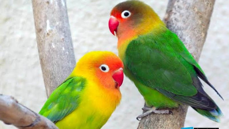Lovebirds with the common name, 'Agapornis' is a small genus of the parrot with many unique features and characteristics