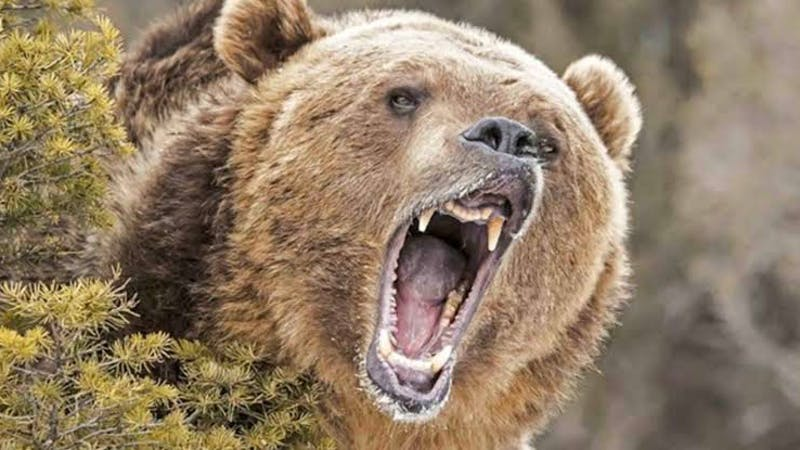 Wild animal: A bear
