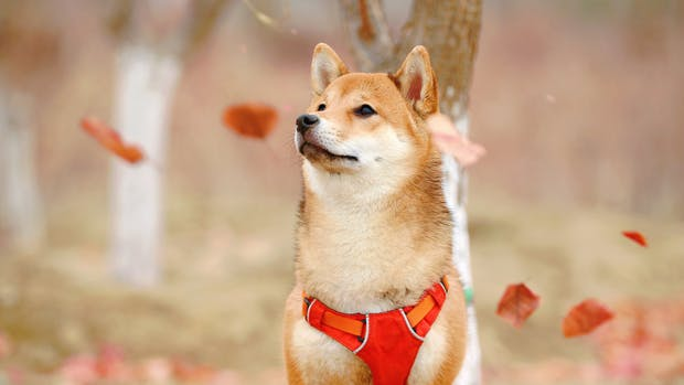 The Shiba Inu dog; mascot of the Shiba Inu cryptocurrency.