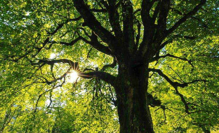 Sonnenstrahlen scheinen durch grüne Baumkrone
