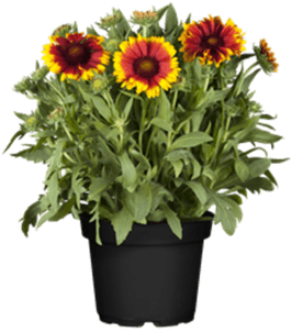 Photo du produit Gaillarde en pot