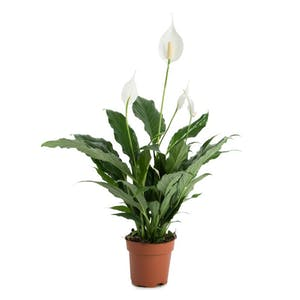 Photo du produit Spathiphyllum