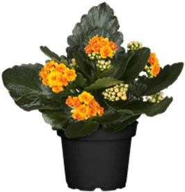 Photo du produit Kalanchoe Orange