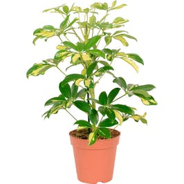 Photo du produit Schefflera Gerda