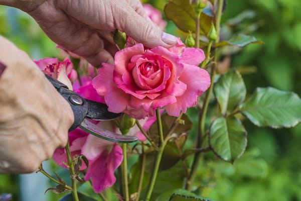 Savoir tailler ses rosiers