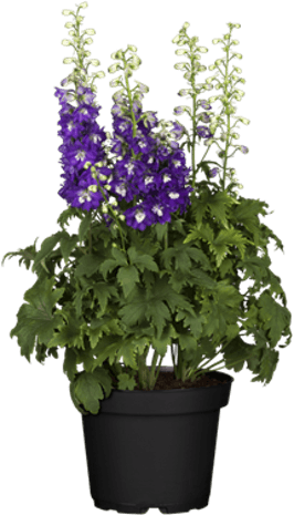 Photo du produit Delphinium
