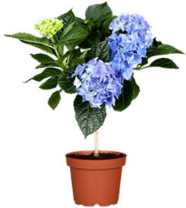 Photo du produit Hortensia Primeur