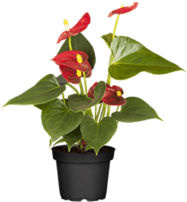 Photo du produit Anthurium Dark Red Fleurs