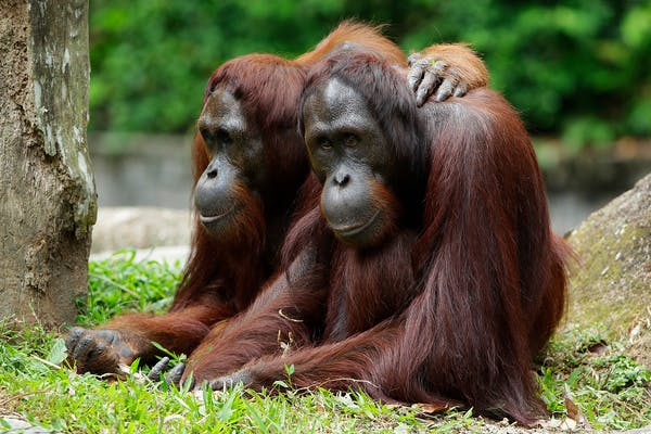 2 orangutans sitting together