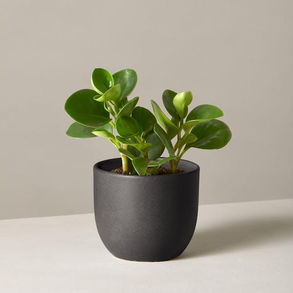 Small rubber plant in a mini black vase