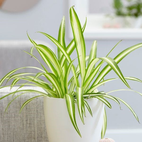 Spider plant in a white pot on the table