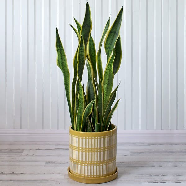 snake plant in yellow and white pot