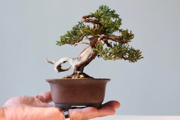 Hand holding a small bonsai