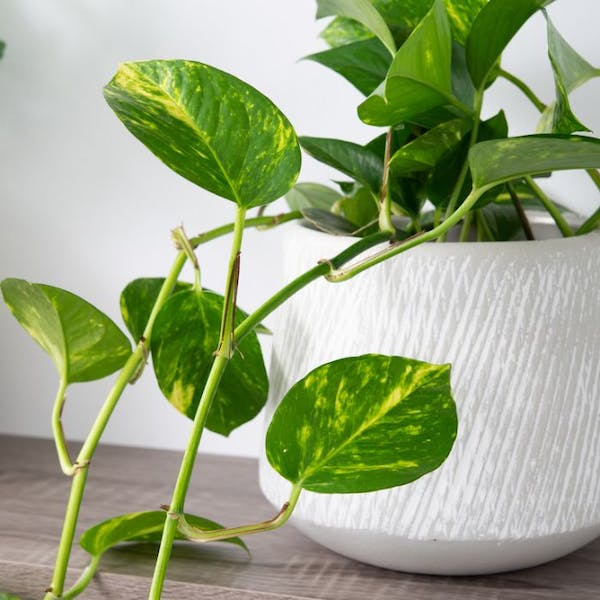 money plant in a huge white pot