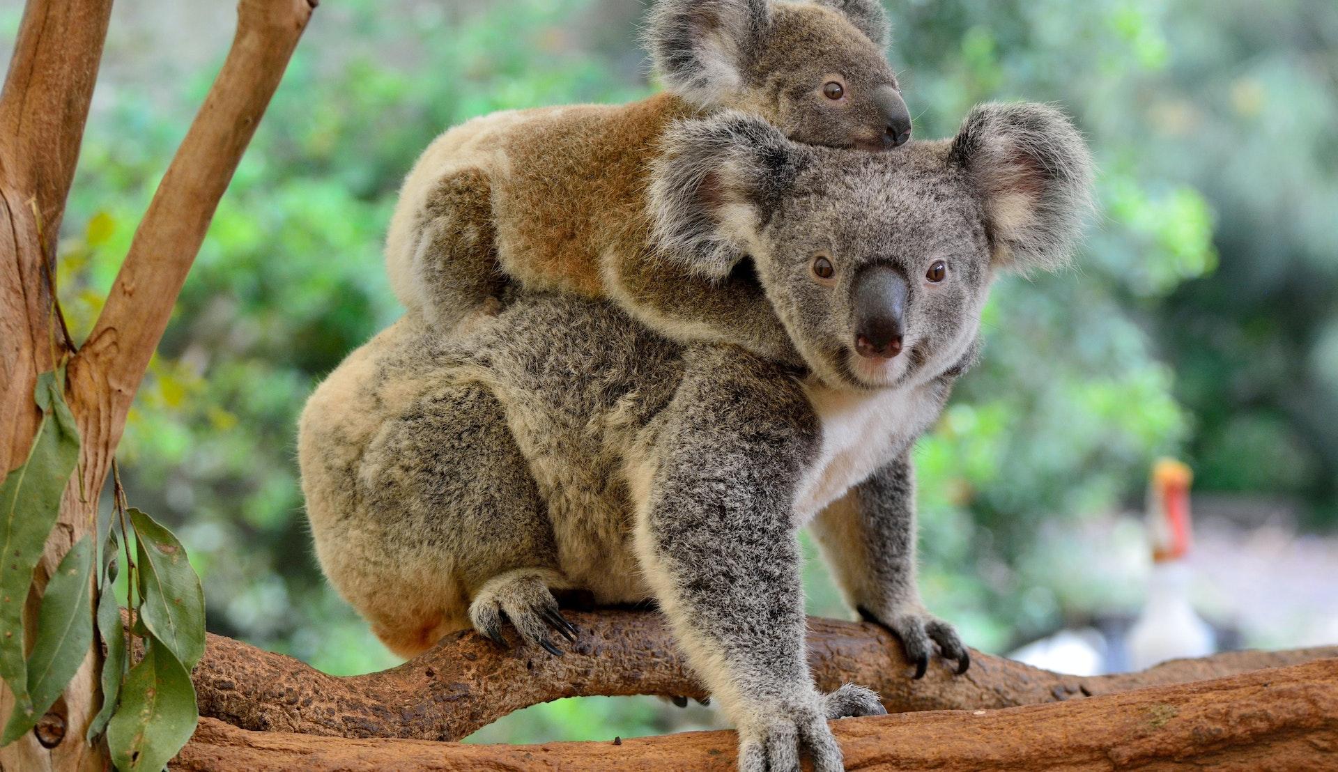 Koalaer © AlizadaStudios, Getty Images