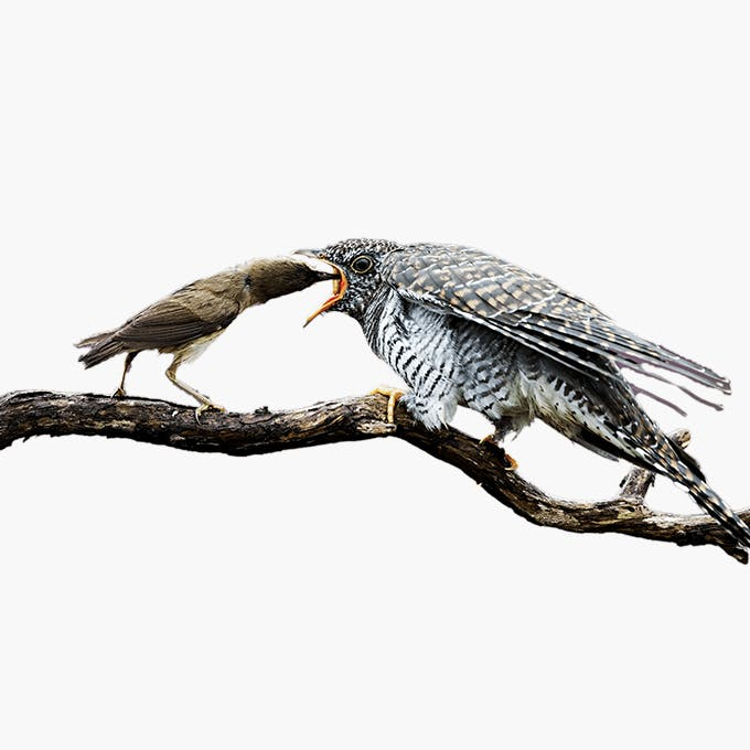 Starlings feeding