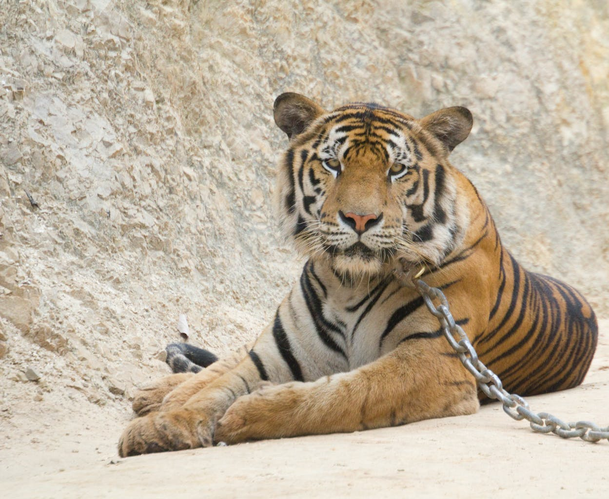 Photo Tiger temple - Thaïlande